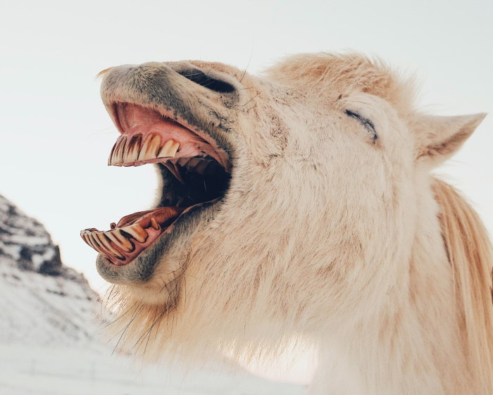 laughing white donkey